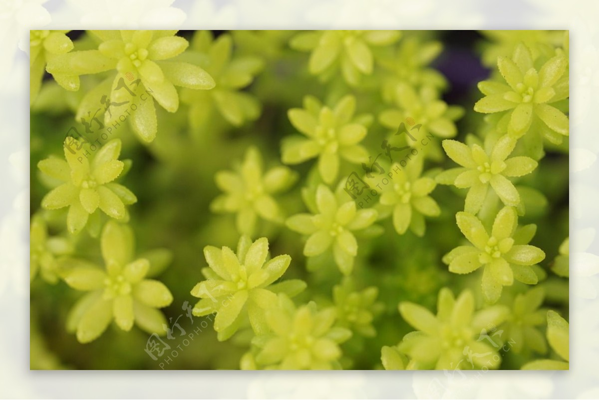 多肉植物黄金万年草
